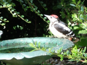 One of our Greater Spotted Woodpeckers