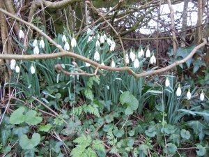 Snowdrops on bank