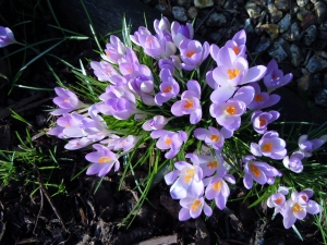 Crocuses brightening the ground under the trees