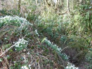 Snowdrops in profusion
