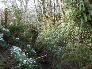 A secret gulley where snowdrops bloom