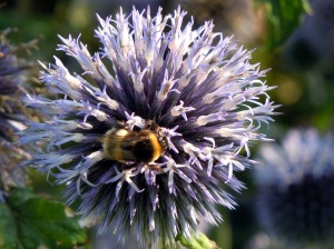 A bumble bee enjoys the nectar of an echinops