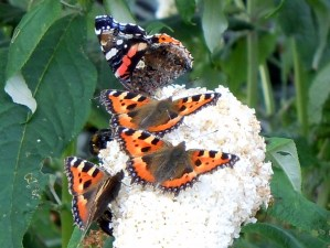 A bevy of butterflies feast together on a Buddleia