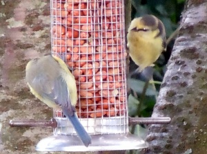 Blue-tits share a feeder